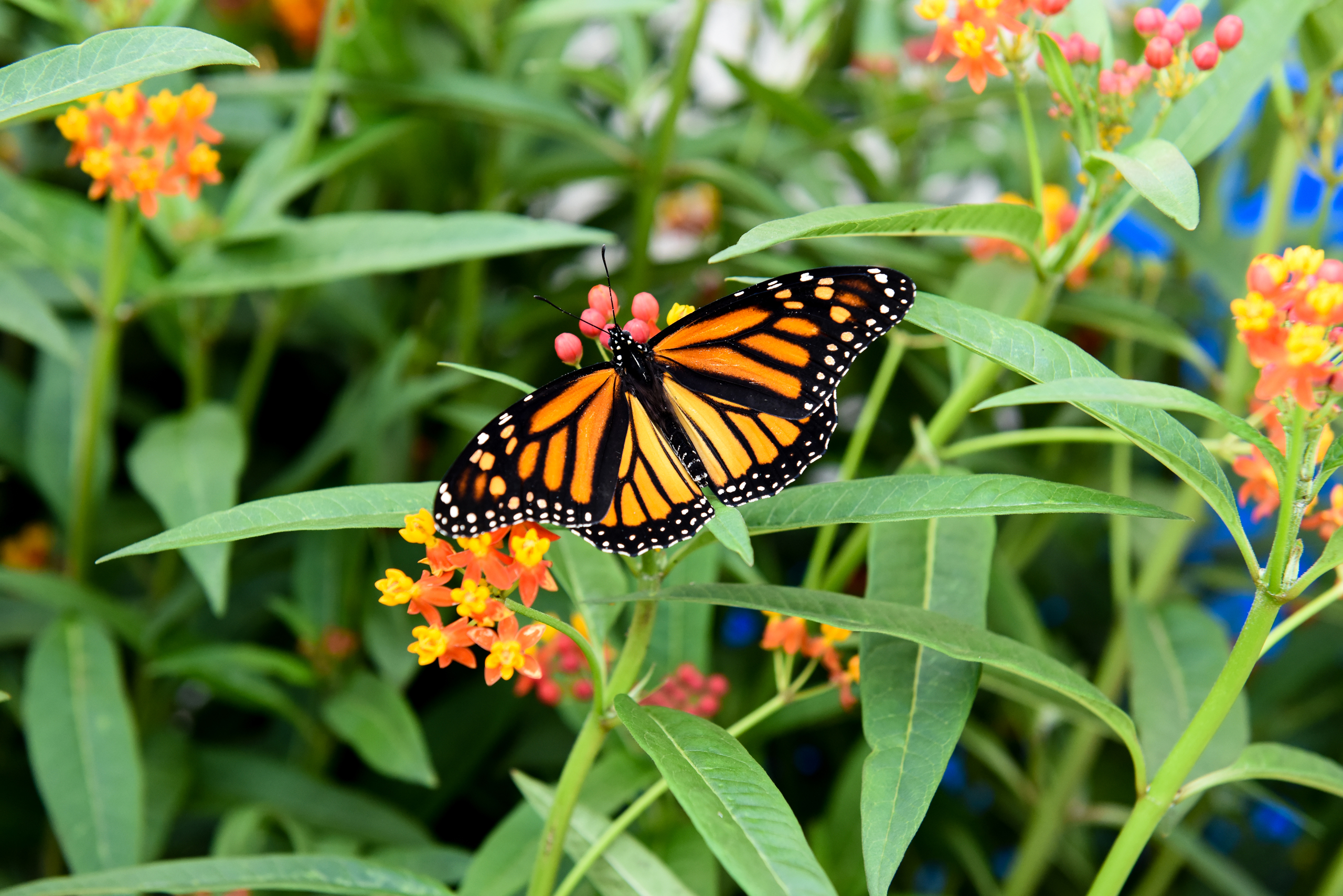 Niagara Parks to Hold Annual Monarch Release