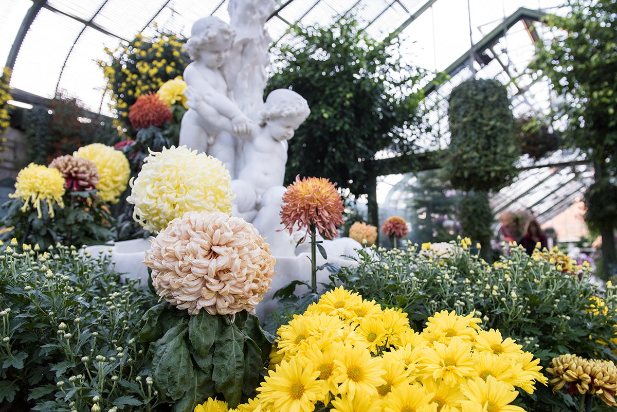 chrysanthemums in greenhouse