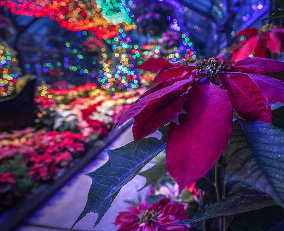 Where do the Poinsettias come from?
