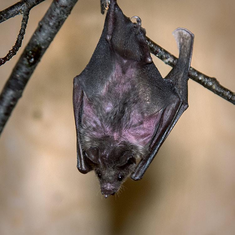 wild-ontario-bat