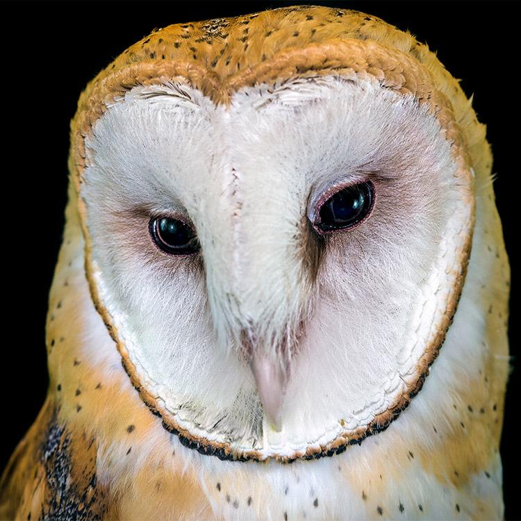 wild-ontario-owl