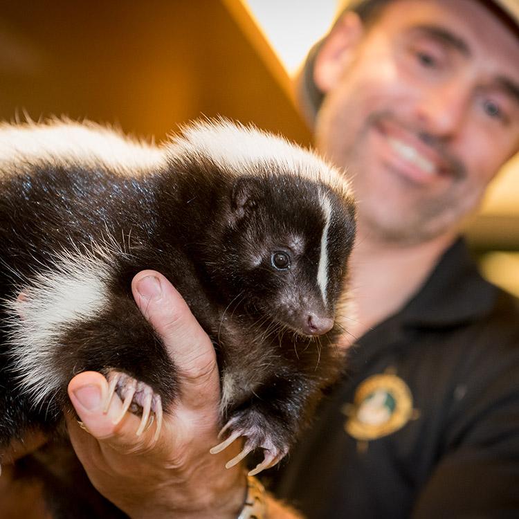 wild-ontario-skunk-fr