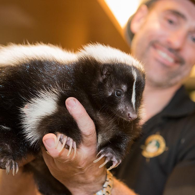 wild-ontario-skunk