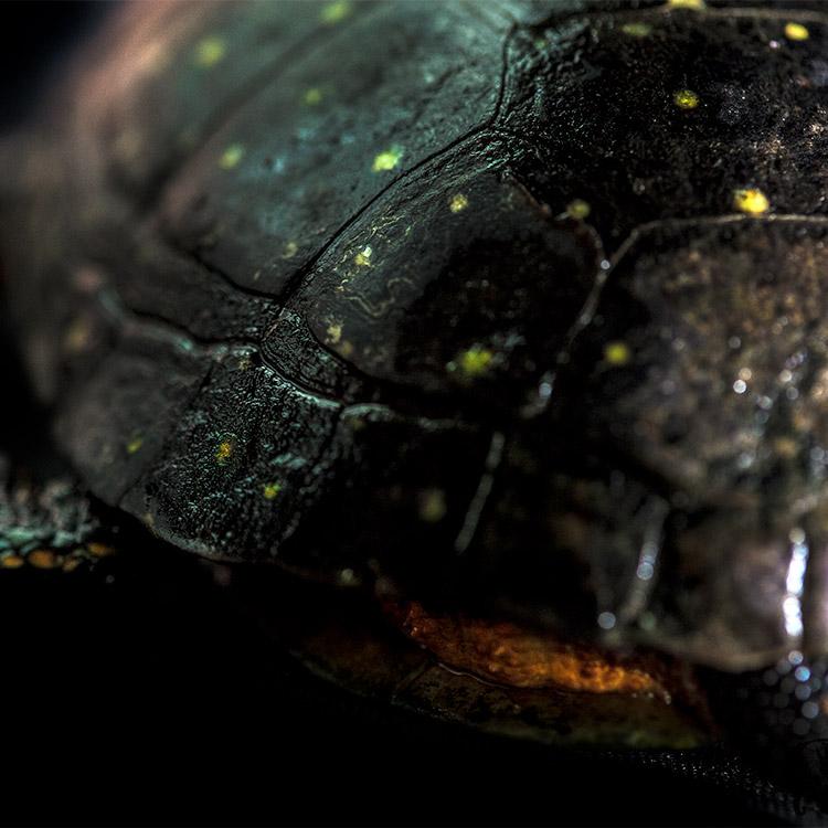 wild-ontario-turtle-fr