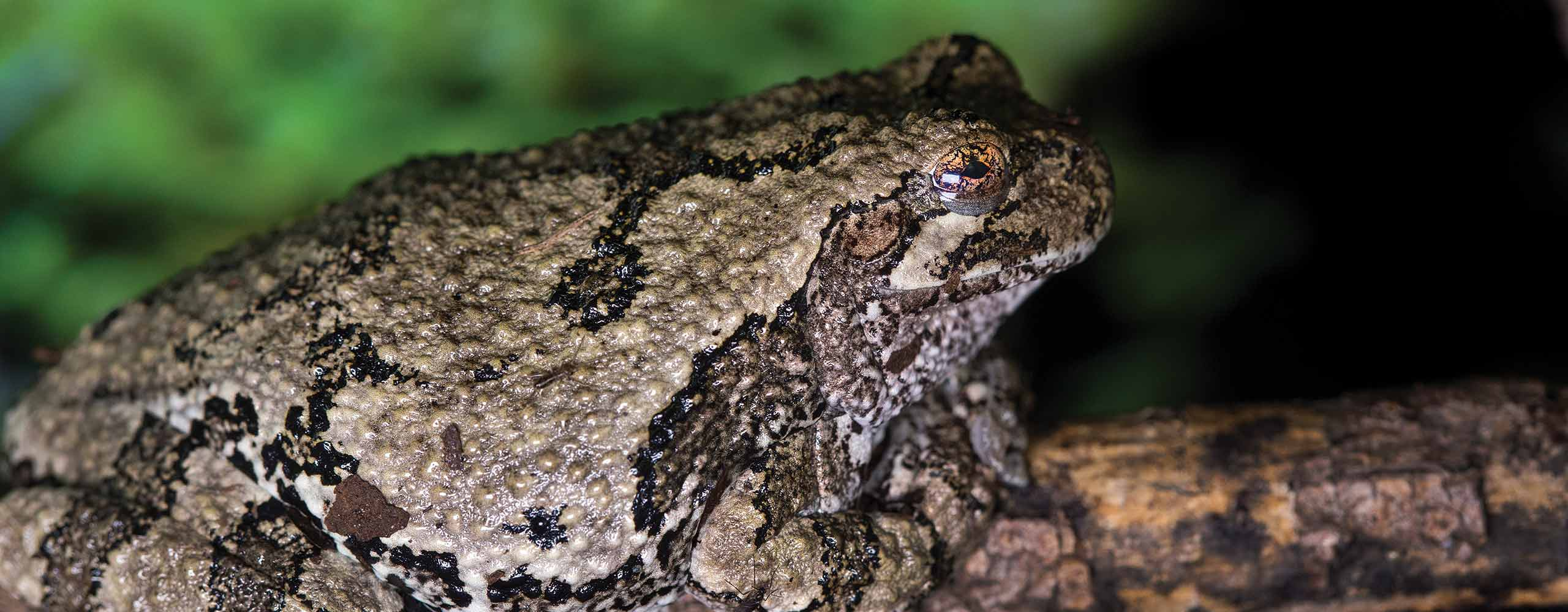 3 Things You May Not Know About Ontario Amphibians