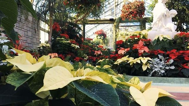 Poinsettias are the featured attraction of the Floral Showhouse Christmas Show!