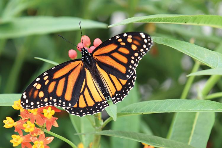 Majestic Monarch Tag & Release Program