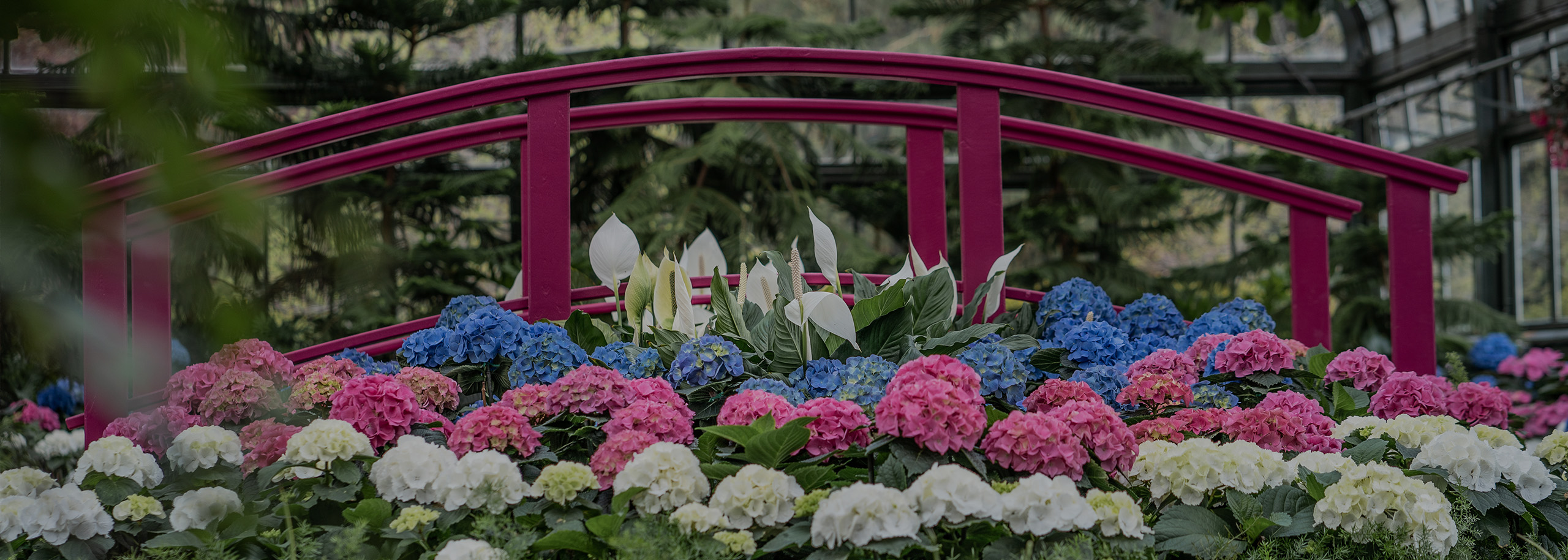 Floral Showhouse Hydrangea Show Opens Virtually