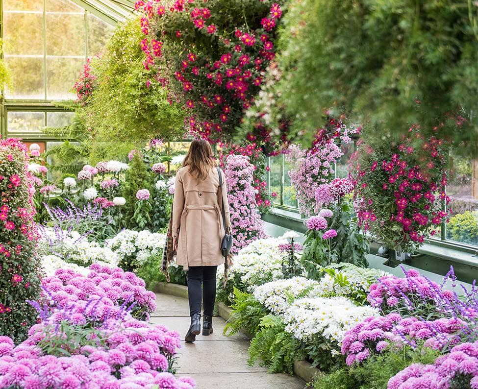 Caring for Chrysanthemums