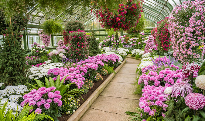 Where do the Chrysanthemums come from?