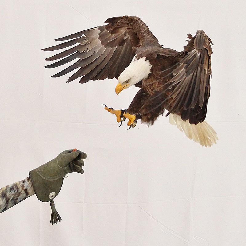 Bald eagle landing on a gloved hand