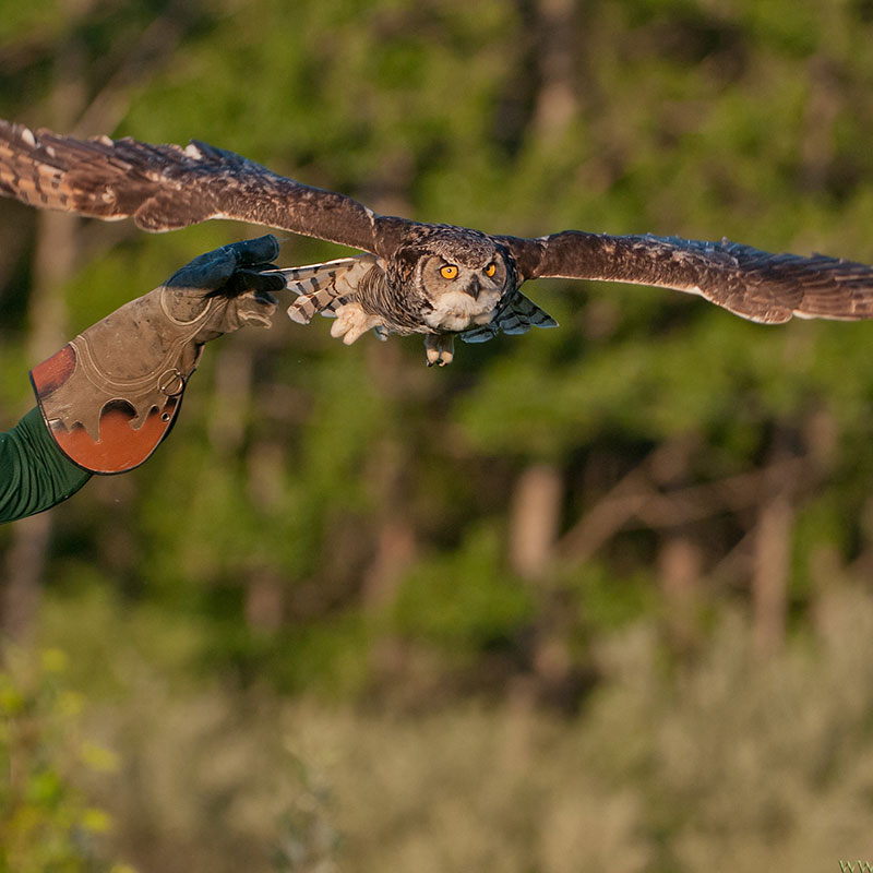 Horned owl in flight