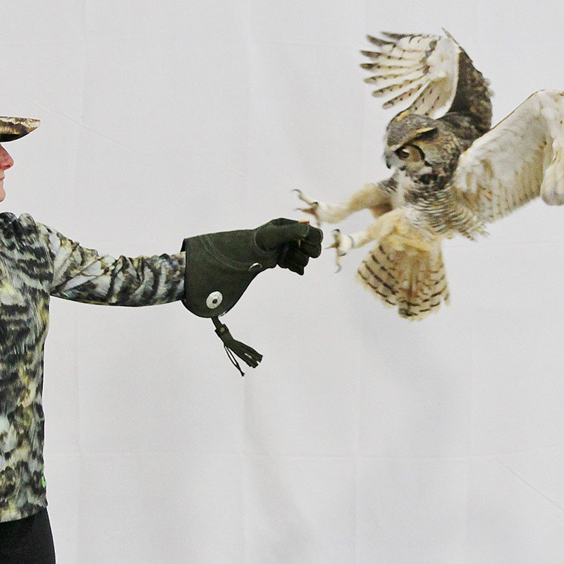 Owl landing on a hand