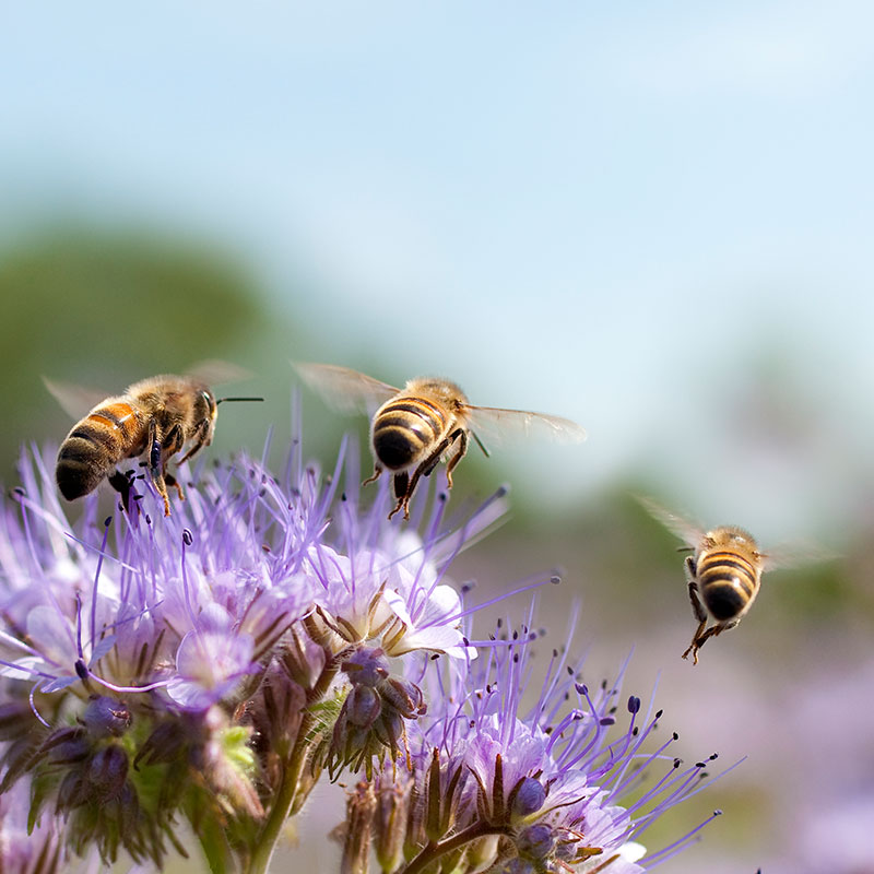 Bees flying around a purple flower