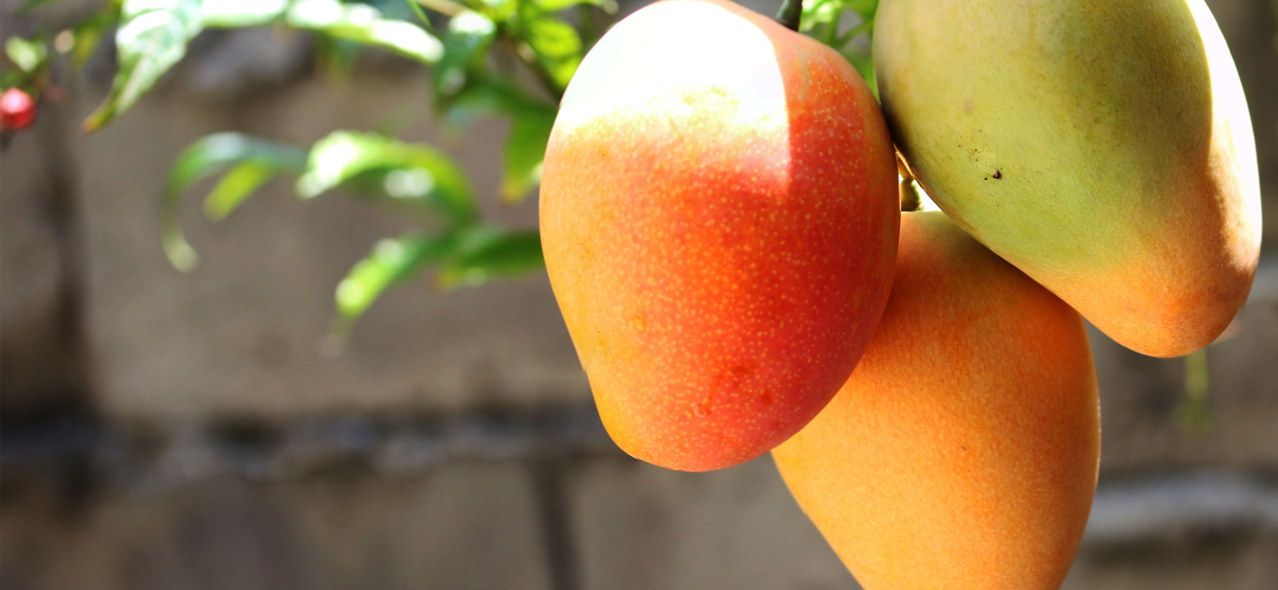 Get Growing with Niagara Parks: Mangoes