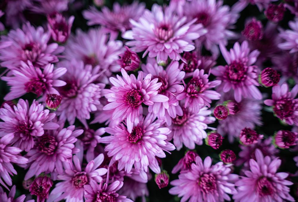 The origins of chrysanthemums